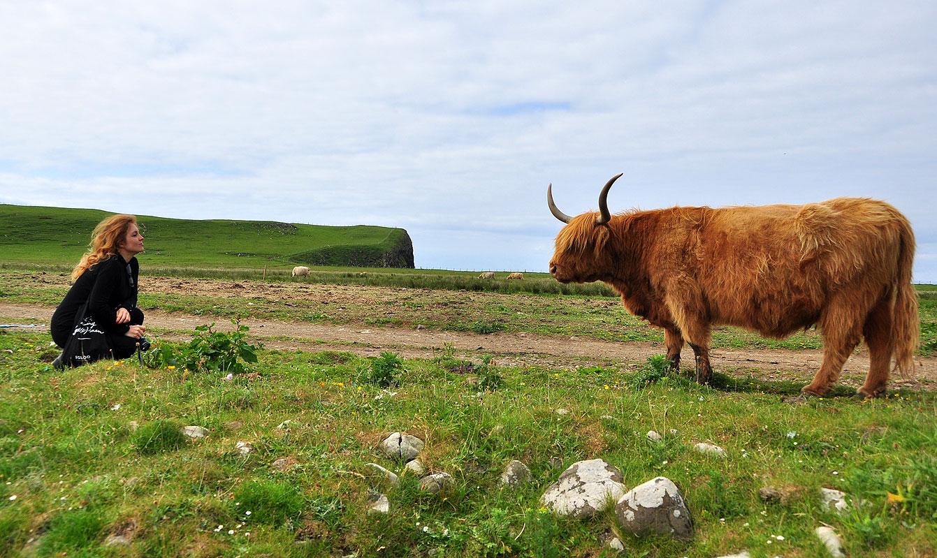 Ile de Skye : Lahighlandest uneracebovinerustique originaire de la région desHighlands.