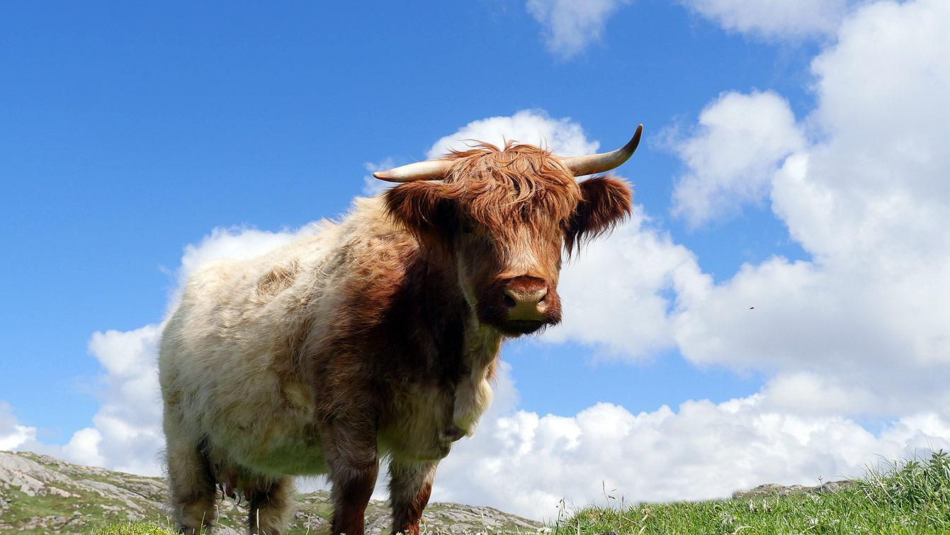 Vache écossaise, Bosta Beach ou Traigh Bhostadh (Île de Lewis)